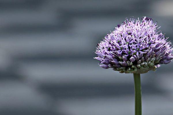 ornamental-onion-2295419_960_720