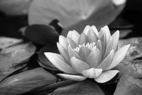water-lily-1641032_960_720