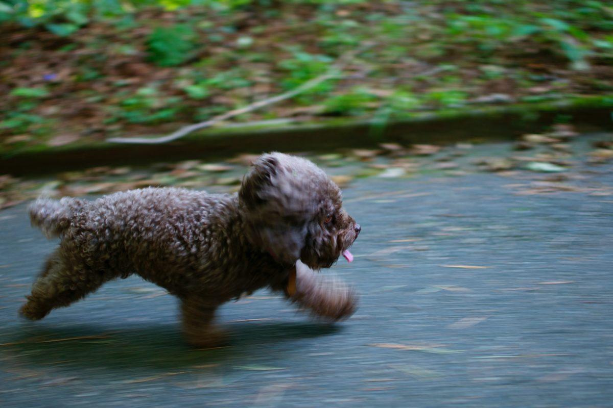 Hundvalp som springer på asfalt.